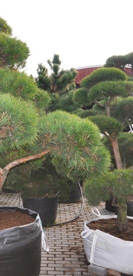 dekoratyviniai-augalai